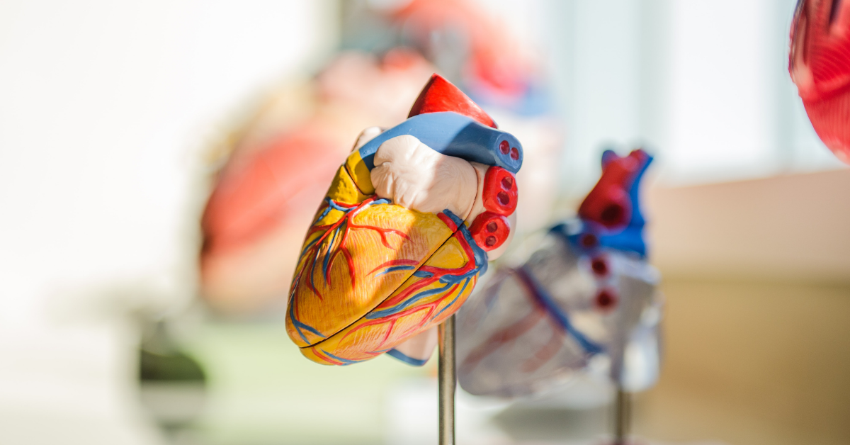 Model of an anatomical heart